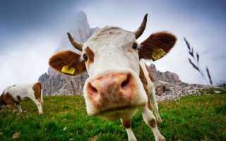 К чему снится корова: значение по сонникам