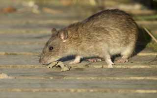 К чему снится серая крыса: толкование по различным сонникам