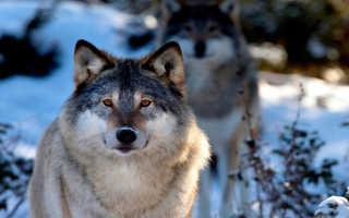 К чему снится охота на волков и других животных: значение в сонниках