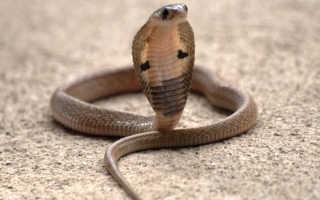 К чему по соннику снится кобра мужчине и женщине