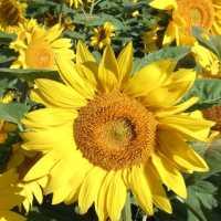 К чему снятся подсолнухи, сухие или цветущие: толкование по сонникам
