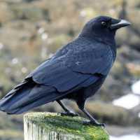 К чему снится ворона и что это значит по сонникам