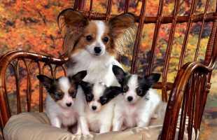 К чему снится собака с щенками: толкование по различным сонникам