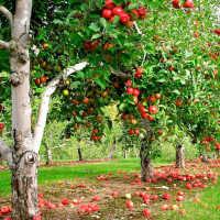 Трактовки разных сонников: к чему может присниться яблоня с яблоками