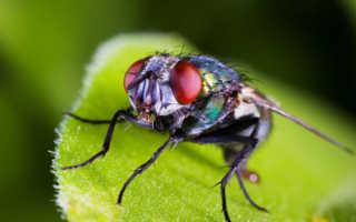 К чему снятся мухи: толкование по различным сонникам
