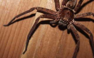 Толкования сонников, к чему снится большой паук