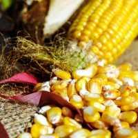 К чему снится кукуруза: желтые зерна и початки