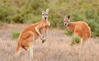 К чему снится взрослый или маленький кенгуру: мнение сонников