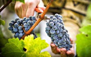 Толкование по соннику к чему снится виноград