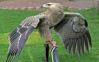 Сон, где снится огромный белый орел: толкования по сонникам