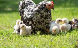 К чему снится курица с цыплятами: толкование по разным сонникам