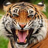 К чему снится тигр: толкование по различным сонникам