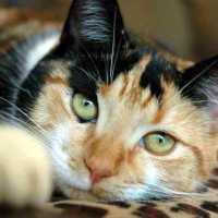 К чему снится трехцветная кошка: толкование по различным сонникам