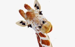 К чему может присниться жираф: расшифровка по сонникам