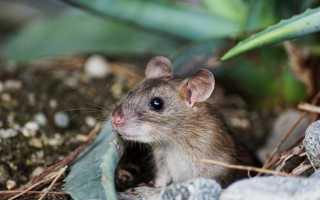 К чему снится серая живая мышь: значения в сонниках