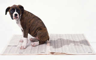 Что означает сон, в котором писает собака: толкование в сонниках