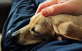 К чему снится раненая собака, если обращаться к соннику