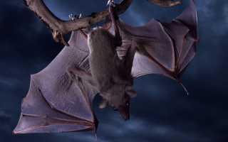 К чему снится летучая мышь: маленькая, большая или мертвая