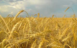К чему по сонникам снится пшеница или зерно в колосьях