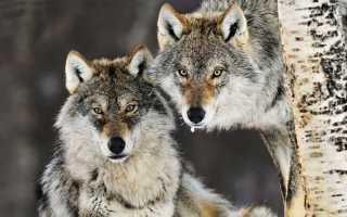 К чему снятся волки: толкования для женщин и мужчин