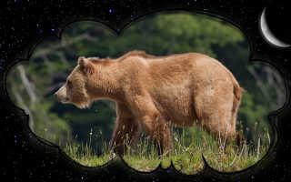 К чему снится медведица и медвежата женщине и мужчине