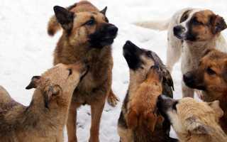 К чему снится видеть стаю  собак по сонникам