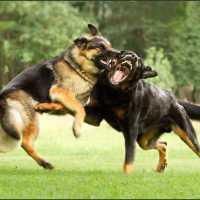 К чему женщине или мужчине снится драка собак