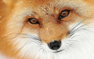 К чему снится рыжая, черная и белая лиса