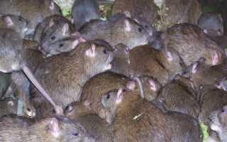 К чему снится много крыс: толкование по различным сонникам