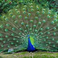 К чему снится павлин: толкования из разных сонников