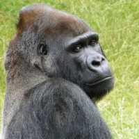 К чему снится видеть или кормить гориллу: трактовка сонников