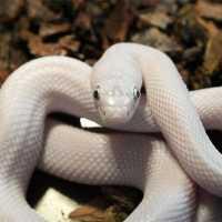 К чему снится белая змея замужней женщине