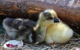 К чему снится гусята: толкования по сонникам снов о птенцах