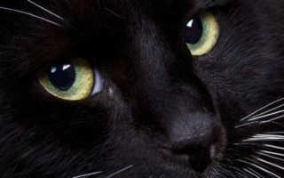 К чему снится черная кошка мужчине и женщине