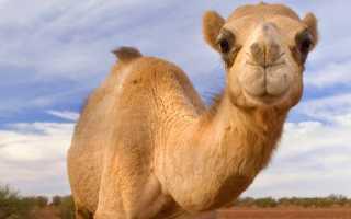 К чему снится верблюд: значение сна по разным сонникам