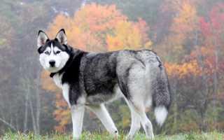 Сон, где снится собака хаски: значение по соннику