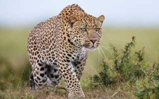 К чему снится леопард: значение снов для женщин и мужчин