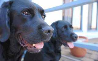 К чему снится черная собака женщине и мужчине