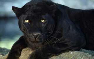 К чему снится черная пантера: толкования по разным сонникам