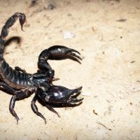 К чему снится черный и красный скорпион: толкование по сонникам