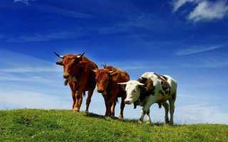 К чему снятся коровы и быки: толкование по различным сонникам