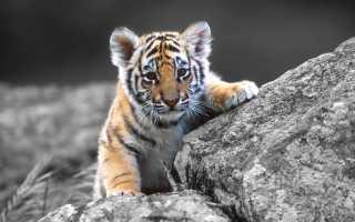 Увидеть маленького зверя: к чему снится тигрёнок