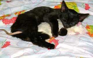 К чему снятся крысы и кошки вместе: толкования по сонникам