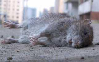 К чему снятся дохлые крысы по соннику: подробное толкование