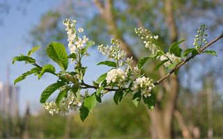 Сон, где снится цветущее дерево черёмухи с ягодами