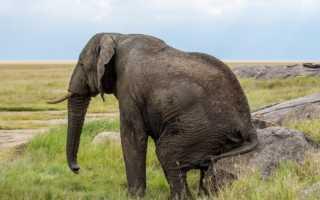 К чему снится слон или слоненок женщине и мужчине