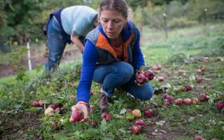 К чему снится собирать яблоки с дерева и на земле