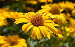 К чему снятся желтые цветы: толкование по разным сонникам