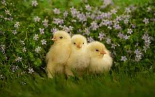 Как понять сон, в котором снится много маленьких цыплят