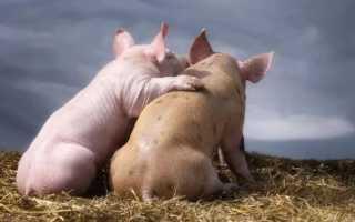 К чему снится свинья мужчине и женщине: толкование по сонникам